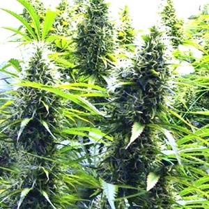2 Pounder cannabis seeds