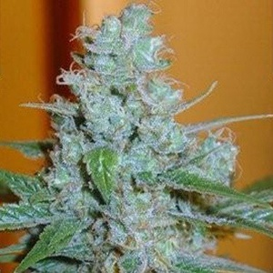 Aussie Blues Feminized