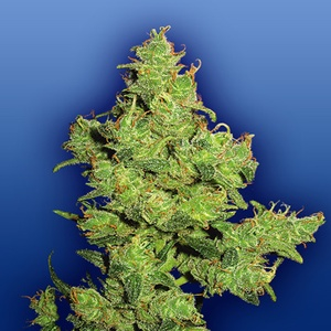Flying Dragon Feminized