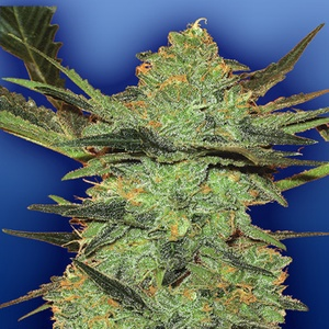 G Force Feminized