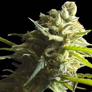 Lemon AID Feminized