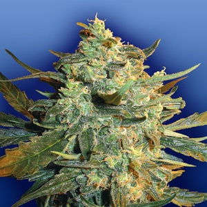 Power Skunk Feminized