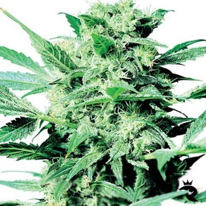 Shiva Skunk Feminized