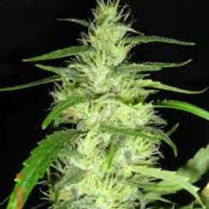 Super Silver Cheese Feminized