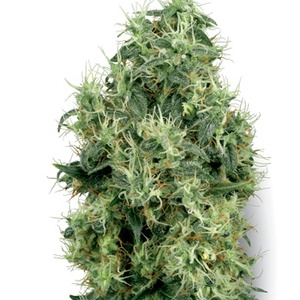 White Gold Feminized
